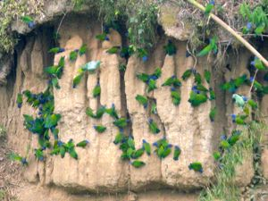 Amazonia parrots demonstrate exceptional formation flying!