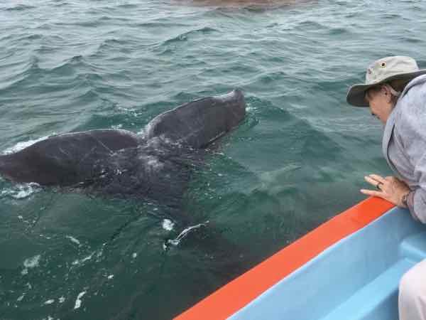 Gray Whales fly under the boat