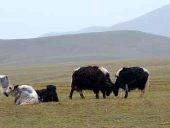 A Yak attack in Mongolia?  More like slow motions shoving.<BR>But I mean the ARE yaks... Just not Yaks